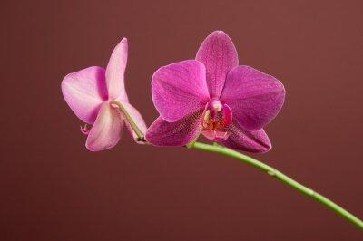 Naklejka Phalaenopsis kwiaty orchidei