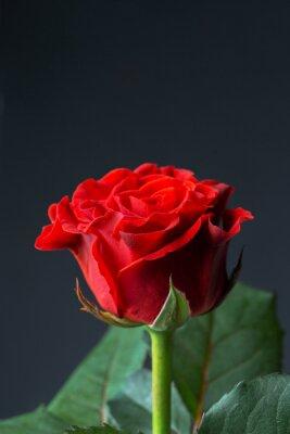 Naklejka Piękna czerwona róża