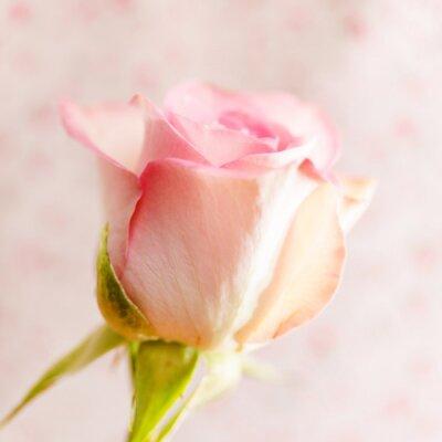 Naklejka piękna róża