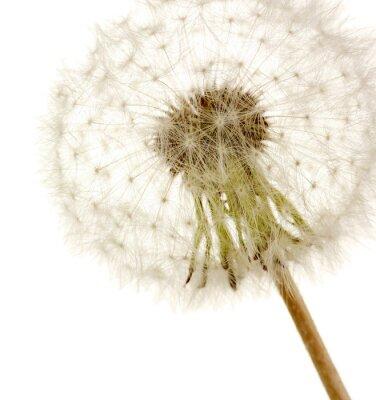 Naklejka Piękne Dandelion z nasion, samodzielnie na białym tle