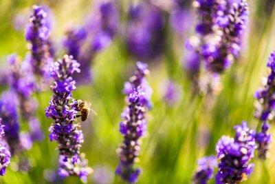 Naklejka Piękne pola lawendy w Prowansji, Francja w lipcu