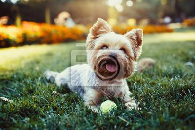 Naklejka Piękne yorkshire terrier gra w piłkę na trawie