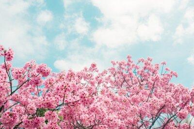 Naklejka Piękny kwiat wiśni sakura w okresie wiosennym na niebieskim niebie.