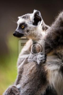 Naklejka Pierścień ogonami Dziecko Lemur