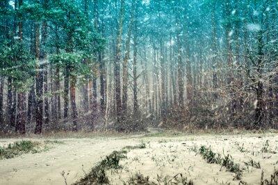Naklejka Pierwszy śnieg w lesie sosnowym