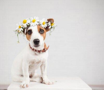 Naklejka Pies z wieńcem stokrotki na głowie