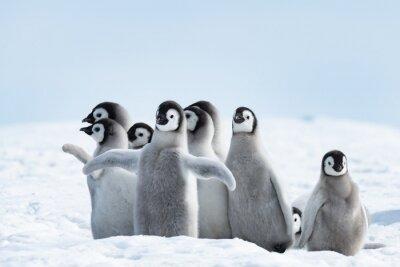 Naklejka Pingwiny cesarza pingwiny