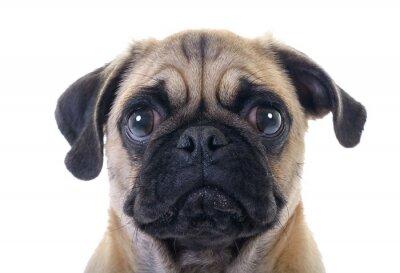 Naklejka Płacz Pug Dog zbliżenie na białym tle