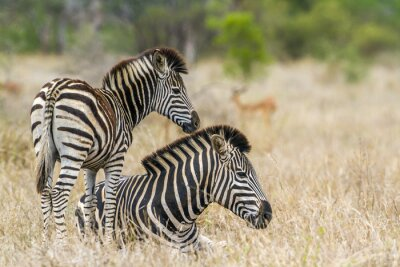 Naklejka Plains Zebra w Kruger National Park, Republika Południowej Afryki