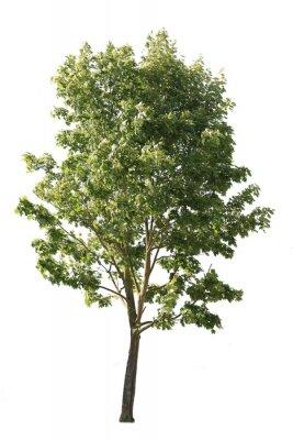 Naklejka Plane tree, also known as Platanus, isolated tree cutout on white background