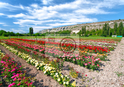 Plantacja Rose