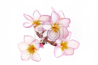Plumeria kwiaty na białym tle
