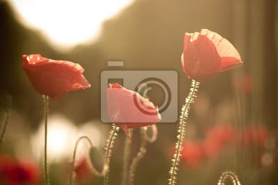 podświetlany Poppy