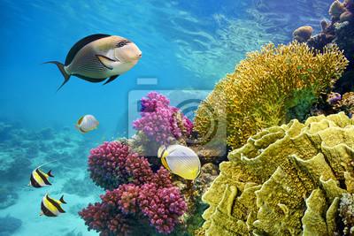 Naklejka Podwodne sceny z raf koralowych i ryby sfotografowany w płytkiej wodzie, Morze Czerwone, Marsa Alam, Egipt
