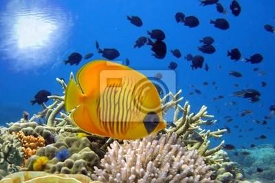 Naklejka Podwodne zdjęcia z rafy koralowej i maskowanych Butterfly Fish