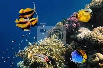 Naklejka Podwodne życie rafy koralowej ciężko, Morze Czerwone, Egipt