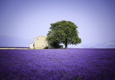Naklejka pola kwitnących kwiatów lawendy w starym wiejskim - Provence, Francja