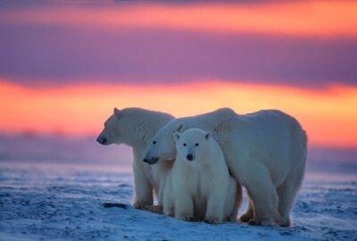 Naklejka Polar bears in Canadian Arctic