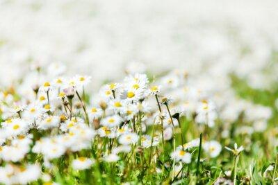 Naklejka pole daisy