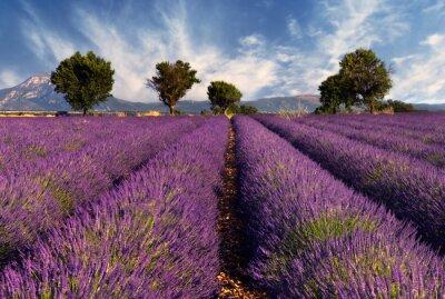 Naklejka Pole lawendowe 2 - Prowancja, Francja