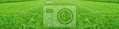 Naklejka Pole młodych pszenicy. Tło zielona trawa.