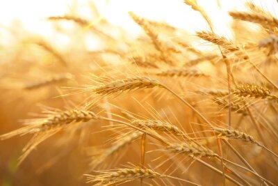 Naklejka Pole pszenicy