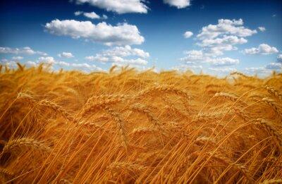 Naklejka Pole pszenicy na tle błękitnego nieba