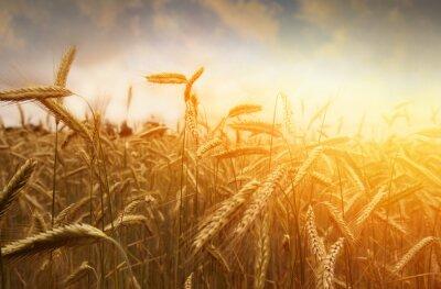 Naklejka Pole złotej pszenicy i zachód słońca