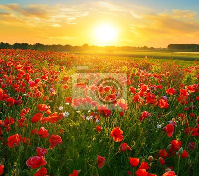 Poppy field o wschodzie słońca