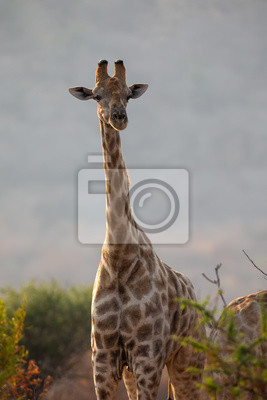 Portrait of a giraffe standing among low trees on a savannah