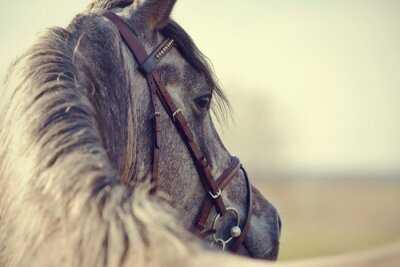 Naklejka Portrait of a sports stallion