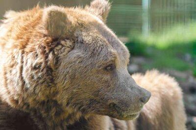 Naklejka Portrait of an old brown bear, a predatory beast.