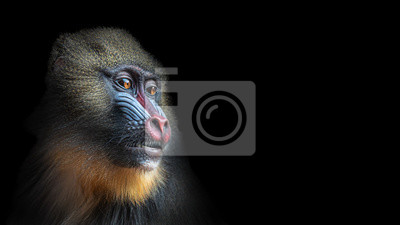 Naklejka Portrait of colorful curious African mandrill, an alpha male at black background