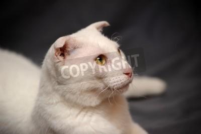 Naklejka Portret Biały Kot Rasy Ukrainian Levkoy Oryginalna