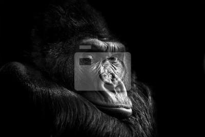 Naklejka Portret goryla