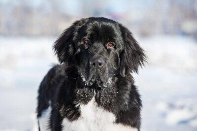 Naklejka Portret Newfoundland dog w zimie