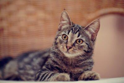 Naklejka Portret paski kotek krajowego na krześle z wikliny