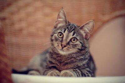 Naklejka Portret paski kotek na krześle z wikliny