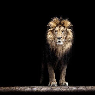 Naklejka Portret pięknej lew, lew w ciemności
