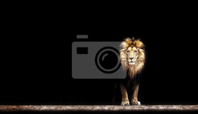 Naklejka Portret pięknej lwa, lwa w ciemności