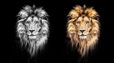 Naklejka Portret pięknej lwa, lwa w ciemności, farb olejnych
