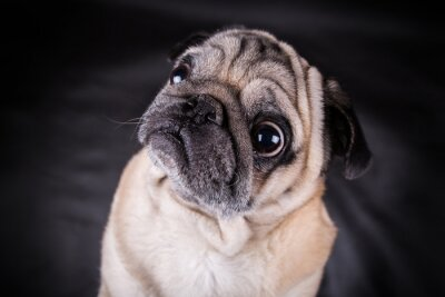 Naklejka Portret psa pug stoi aparat na czarnym tle