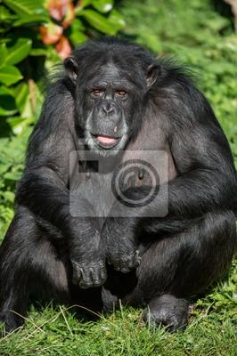 Portret Szympans