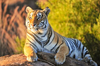 Naklejka Portret Tiger