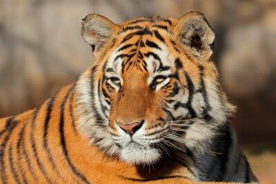 Naklejka Portret Tygrys bengalski (Panthera Tigris bengalensis).