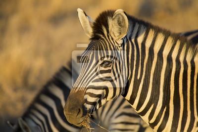 Naklejka Portret Zebra na zdjęciu koloru z głowy zbliżeniu
