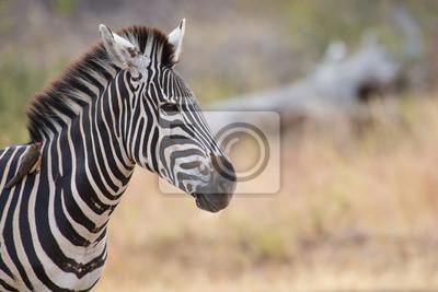 Naklejka Portret Zebra w kolorze zdjęcie z bliska głów