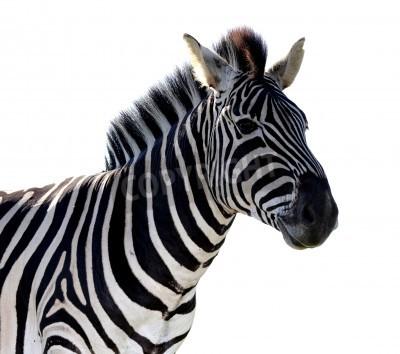 Naklejka Portret zebra w paski na białym tle