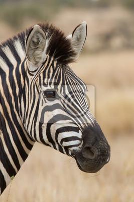Portret Zebra w przyrodzie pięknym szczegóły miękkim świetle