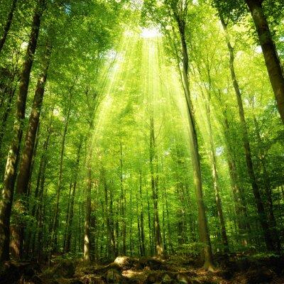 Naklejka Promienie słońca w lesie bukowym